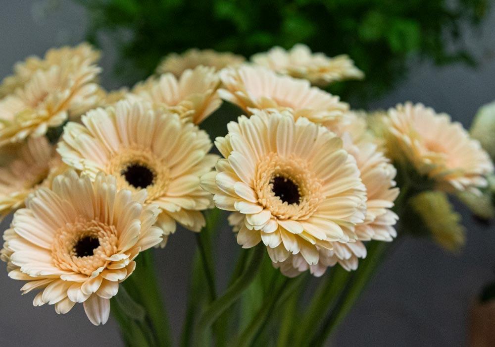 Gärtnerei Hinze | Weiß-Gelbe Gerbera