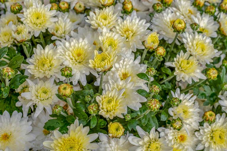 Gäertnerei Hinze Lübeck-crysanthemen Couleur / Pixabay