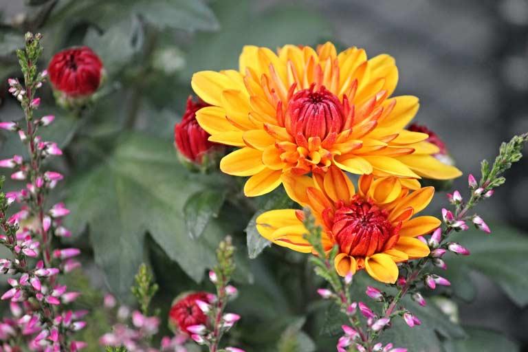 Gäertnerei Hinze Lübeck-crysanthemen Manfred Richter / Pixabay