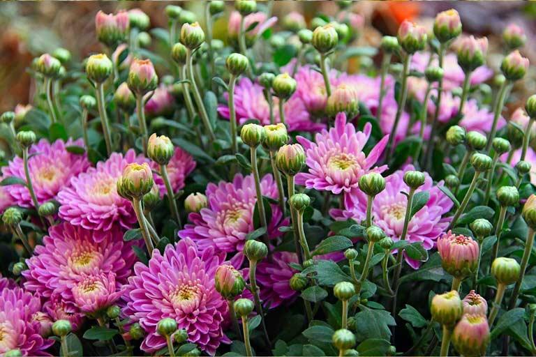 Gäertnerei Hinze Lübeck-crysanthemen Gabor Adonyi / Pixabay
